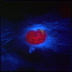 Aneuploid-Cell-Fluorescence-News-Floris-Foijer